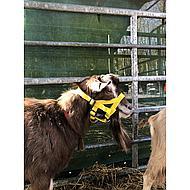 Kerbl Kopfhalfter für Schafe + Böcke Nylon Gelb