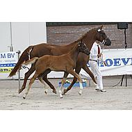 Harrys Horse Pony/veulenhalster Crystal Leder