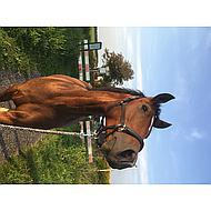 Harrys Horse Halster Leder Finesse Zwart Cob