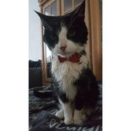 Cat Collar W/bowknot Rood