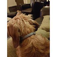 Seresto Tick and Flea Collar Small Dog max 8kg 38cm