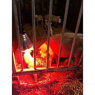 Kerbl Ampoule Économique Infrarouge Rouge 175W