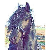 Harrys Horse Halster Leder Zwart met Bies Zilver Cob