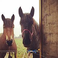 Harrys Horse Licol 3x Réglable Bordeaux Cob