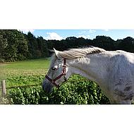 Harrys Horse Licol Economy Violet/Gris/Violet Sang Froid