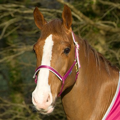 Bucas Head Collar Dublin Berry