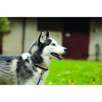 Amigo Dog Collar Blue