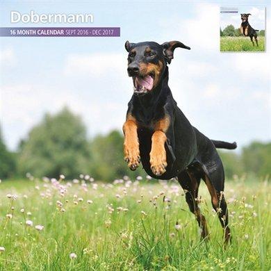 Magnetsteel Kalender 2017 Dobermann Traditioneel 30x30cm