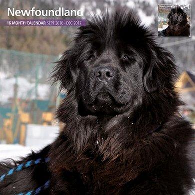 Magnetsteel Kalender 2017 Newfoundlander Traditi 30x30cm