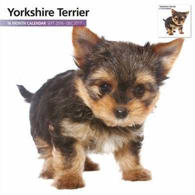 Magnet&steel Kalender 2017 Yorkshire Terrier Modern 30x30cm