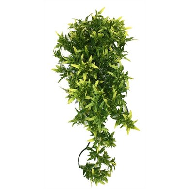 Komodo Croton Plant 40cm